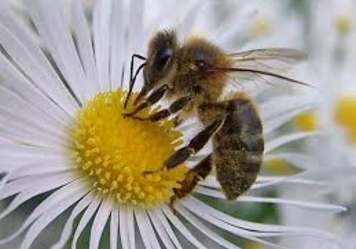 Si se mueren las abejas, también desaparecerán los alimentos